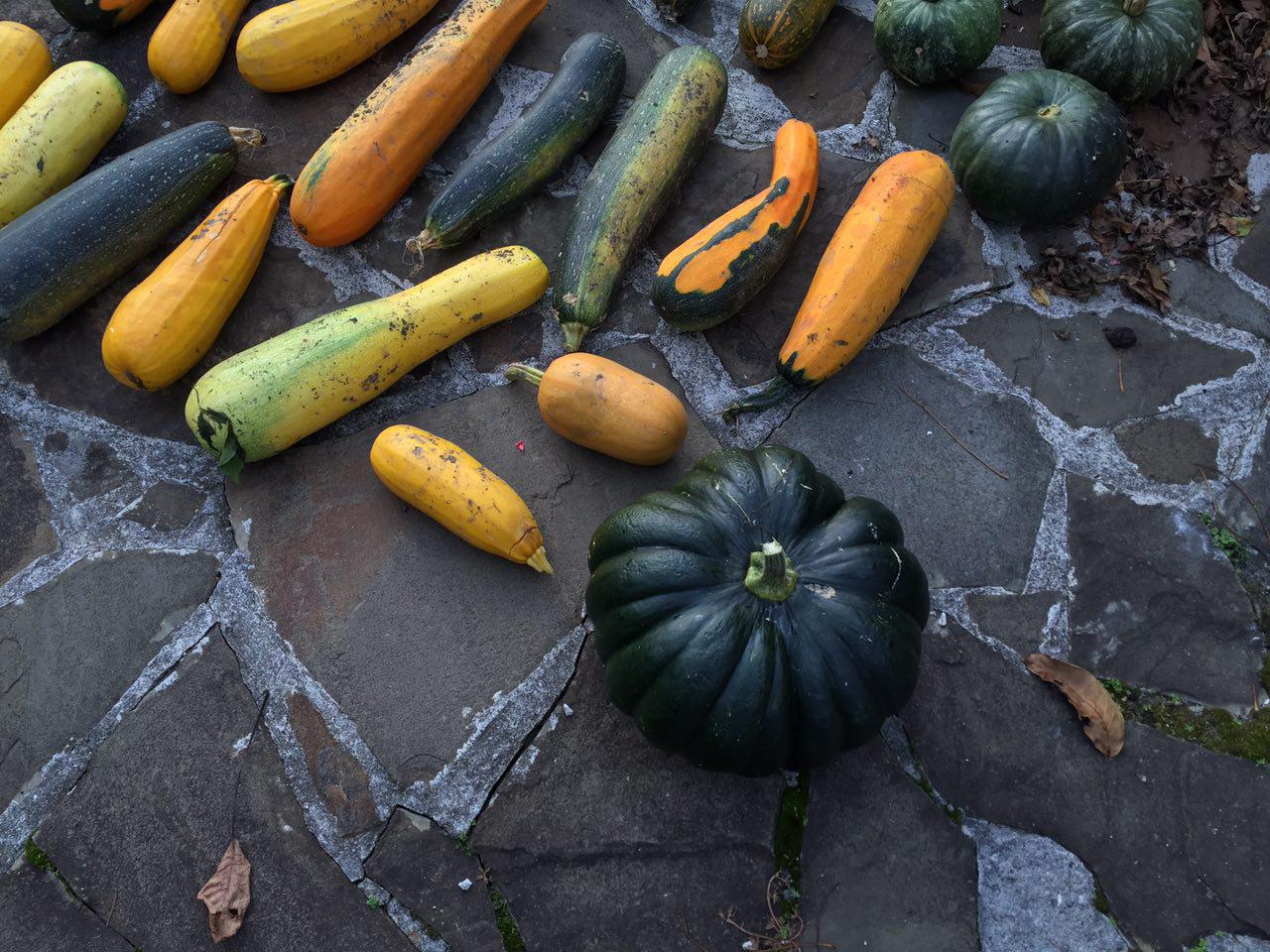 Урожай кабачков и тыкв